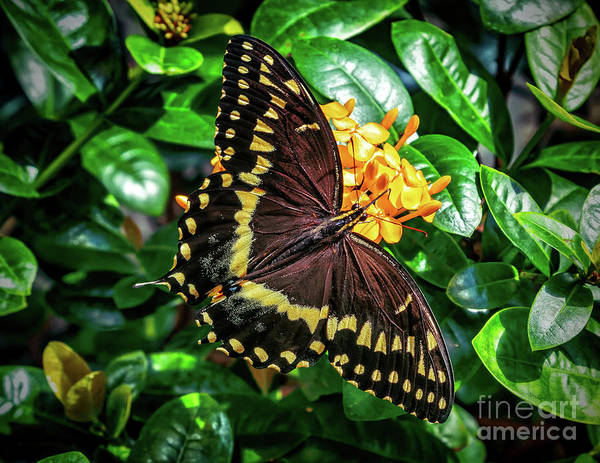 Photograph - Eastern Black Swallowtail by Nick Zelinsky