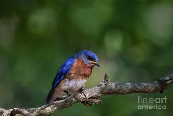 Photograph - Eastern Bluebird by Andrea Silies
