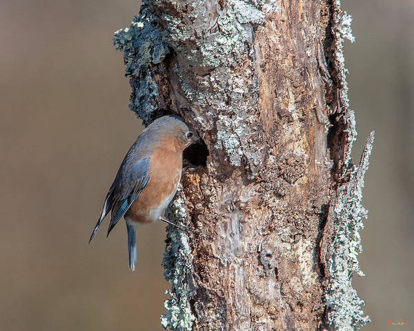 Photograph - Eastern Bluebird Dsb0278 by Gerry Gantt