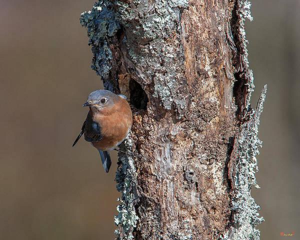 Photograph - Eastern Bluebird Dsb0279 by Gerry Gantt