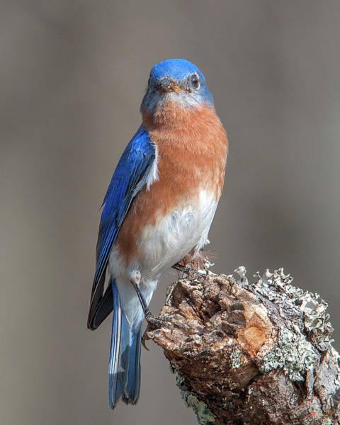 Photograph - Eastern Bluebird Dsb0300 by Gerry Gantt