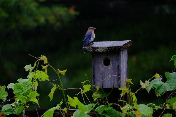 Photograph - Eastern Bluebird In The Rain by Peggy McDonald