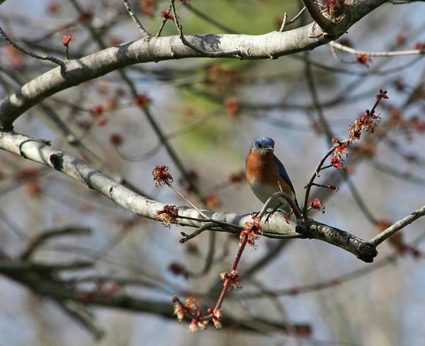 Photograph - Eastern Bluebird by Jill Lang
