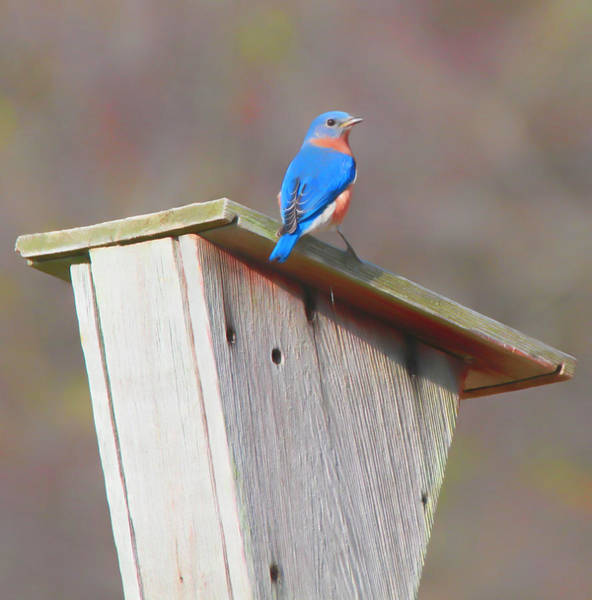 Mixed Media - Eastern Bluebird On House by Dan Sproul
