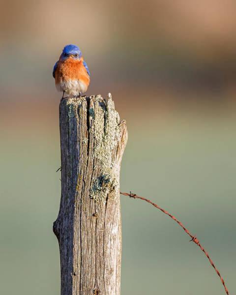 Morning Song Wall Art - Photograph - Eastern Bluebird Portrait by Bill Wakeley