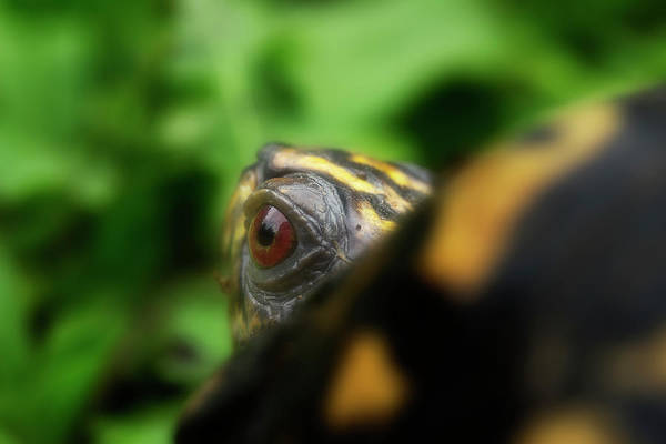 Box Turtle Photograph - Eastern Box Turtle 3 by Mike Eingle