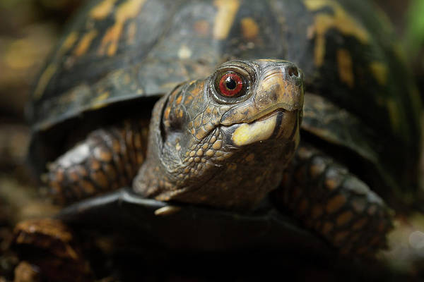 Box Turtle Photograph - Eastern Box Turtle 4 by Mike Eingle