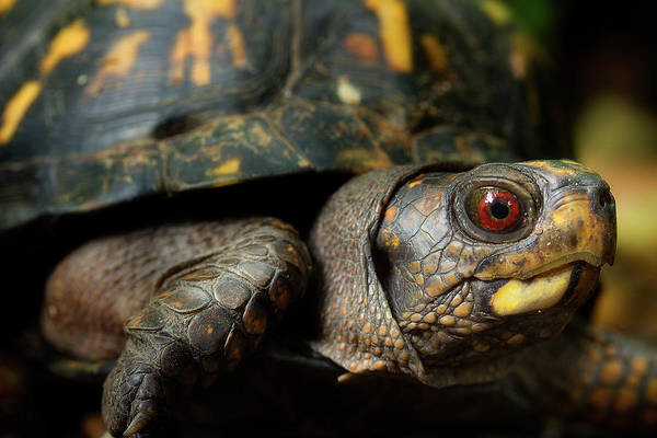 Box Turtle Photograph - Eastern Box Turtle 5 by Mike Eingle