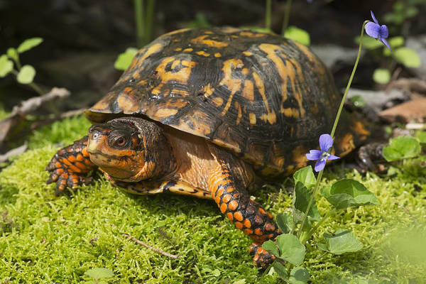Box Turtle Photograph - Eastern Box Turtle On Sphagnum Moss by Lynn Stone