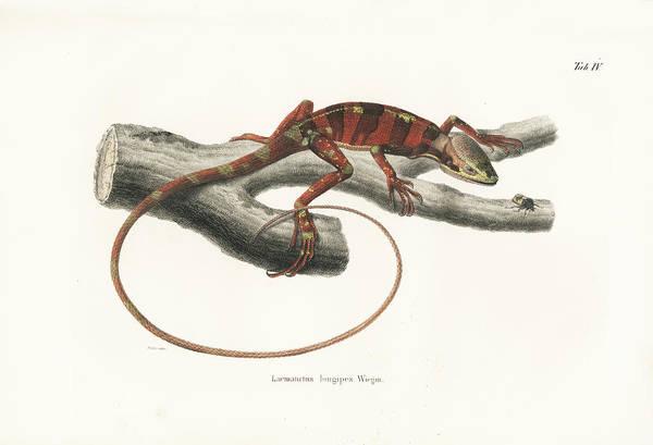 Drawing - Eastern Casquehead Iguana, Laemanctus Longipes by Carl Wilhelm Pohlke