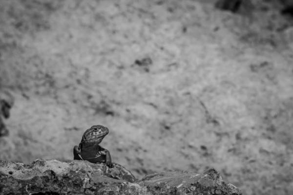 Photograph - Eastern Collared Lizard 2 by Jeff Phillippi