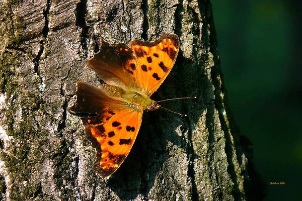 Photograph - Eastern Comma Butterfly by Christina Rollo