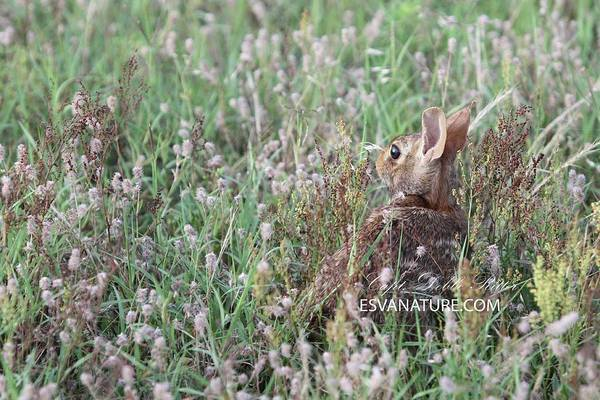 Photograph - Eastern Cotton Tail by Captain Debbie Ritter