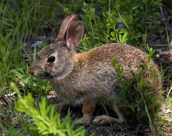 Photograph - Eastern Cottontail Rabbit Dmam0006 by Gerry Gantt