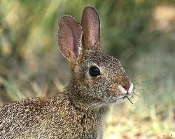Photograph - Eastern Cottontail Rabbit Dmam0023 by Gerry Gantt