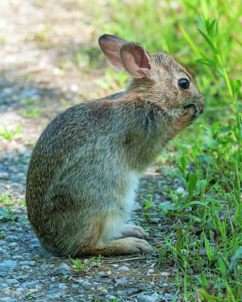 Photograph - Eastern Cottontail Rabbit Washing Face Dmam0035 by Gerry Gantt
