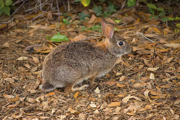 Sylvilagus Floridanus Photograph - Eastern Cottontail by Rich Leighton