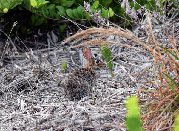 Sylvilagus Floridanus Photograph - Eastern Cottontail by William Tasker