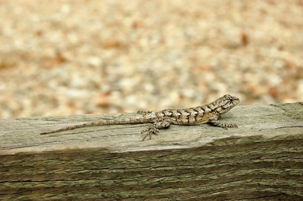 Wall Art - Photograph - Eastern Fence Lizard by Rich Leighton