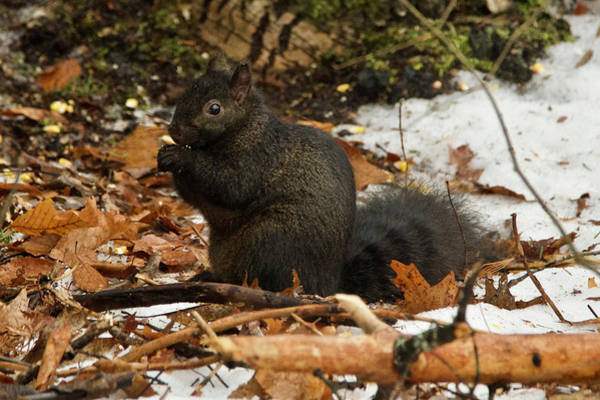 Wall Art - Photograph - Eastern Gray Squirrel Black Morph by Michael Peychich