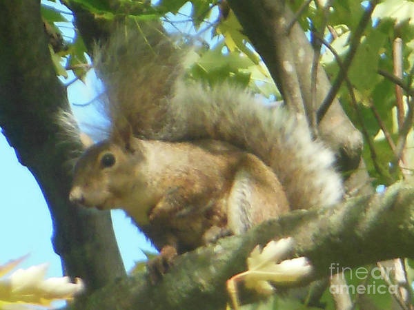 Photograph - Eastern Gray Squirrel Branch by Rockin Docks Deluxephotos