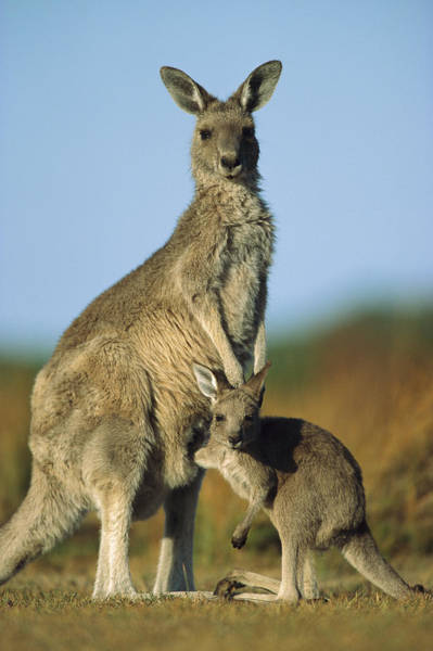 Pouch Wall Art - Photograph - Eastern Grey Kangaroo And Her Joey by Ingo Arndt