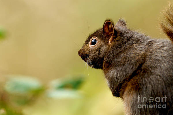 Photograph - Eastern Grey Squirrel by Beve Brown-Clark Photography