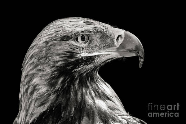 Wall Art - Photograph - Eastern Imperial Eagle by Kim Petersen