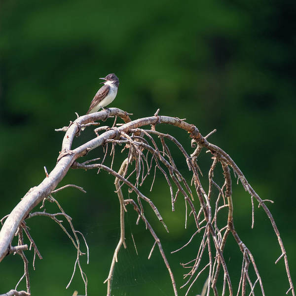 Photograph - Eastern Kingbird 3 by Bill Wakeley