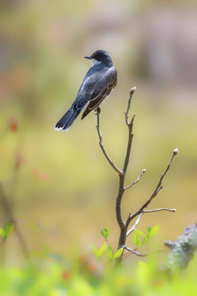Photograph - Eastern Kingbird by Bill Wakeley