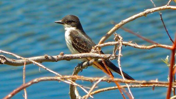 Photograph - Eastern Kingbird by Dan Miller