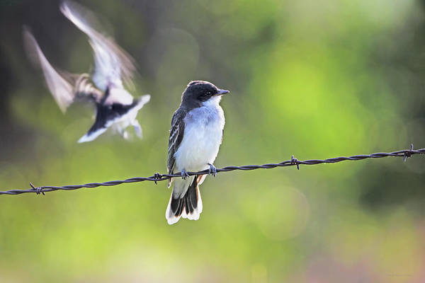 Wall Art - Photograph - Eastern Kingbird by Jennie Marie Schell