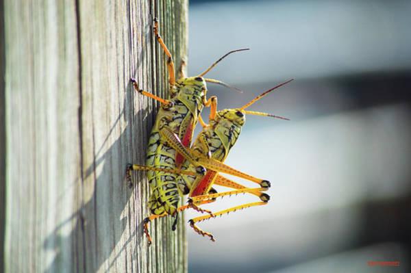 Alligator Alley Photograph - Eastern Lubber Grasshoppers 2 by Ken Figurski