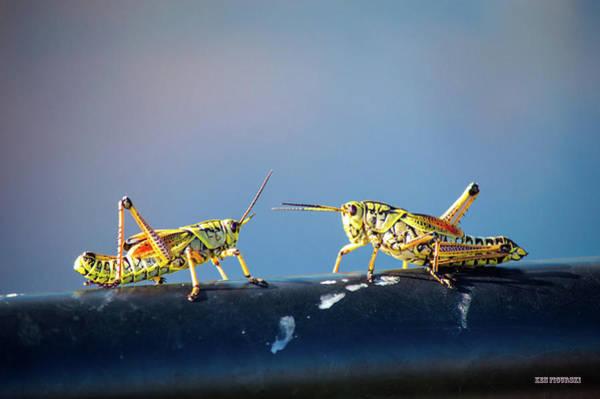 Alligator Alley Photograph - Eastern Lubber Grasshopper by Ken Figurski