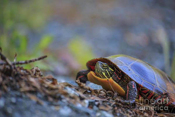 Painted Turtle Photograph - Eastern Painted Turtle Chrysemys Picta by Edward Fielding