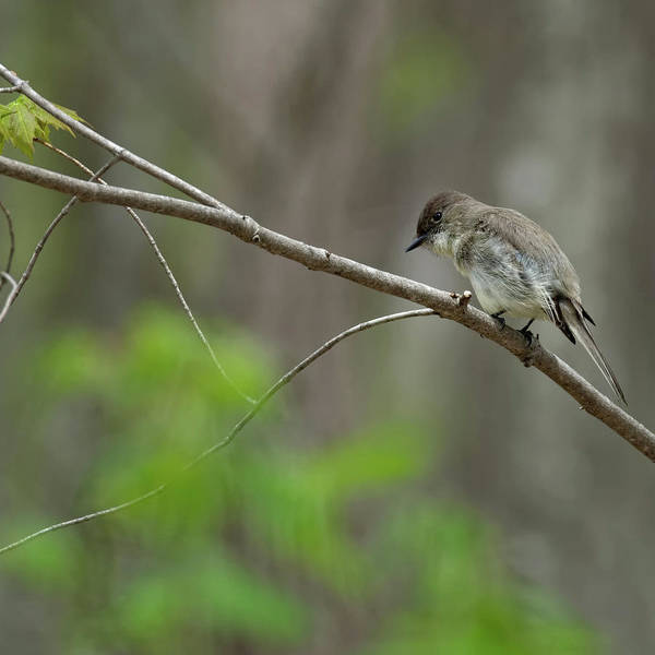 Photograph - Eastern Phoebe 2017 Square by Bill Wakeley
