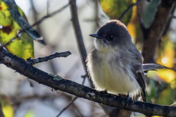 Photograph - Eastern Phoebe by John Benedict