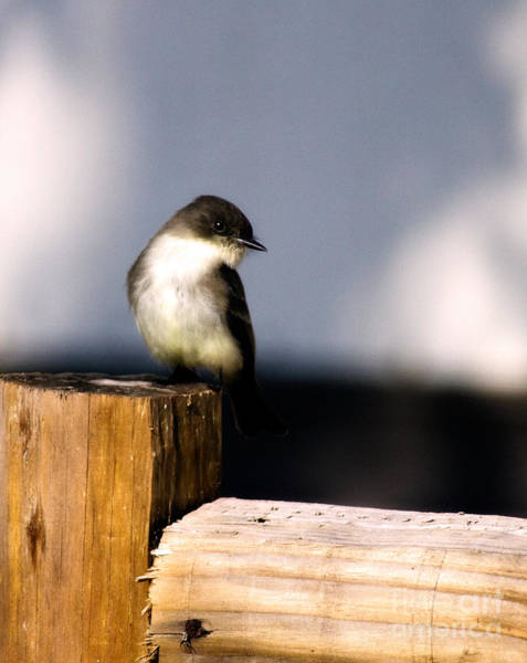 Wildbird Photograph - Eastern Phoebe by Lana Trussell