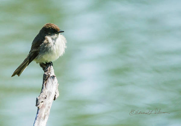 Photograph - Eastern Phoebe On A Perch by Edward Peterson
