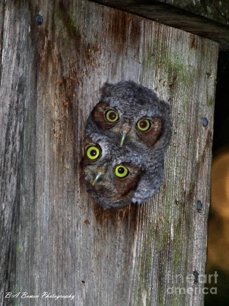 Photograph - Eastern Screech Owl Chicks by Barbara Bowen