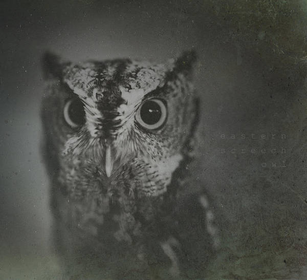 Screech Owl Photograph - Eastern Screech Owl by Shane Holsclaw