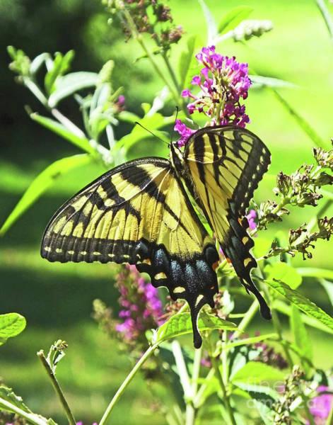 Photograph - Eastern Tiger Sawllowtail 23 by Lizi Beard-Ward
