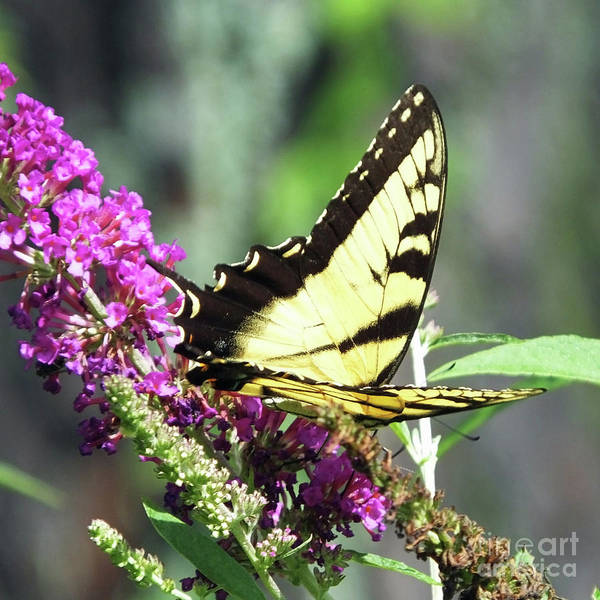 Photograph - Eastern Tiger Swallowtail 17 by Lizi Beard-Ward