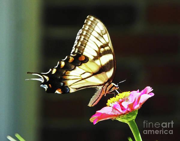 Photograph - Eastern Tiger Swallowtail 20 by Lizi Beard-Ward