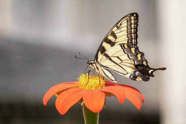 Wall Art - Photograph - Eastern Tiger Swallowtail 2018-1 by Thomas Young