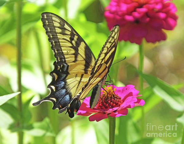 Photograph - Eastern Tiger Swallowtail 21 by Lizi Beard-Ward