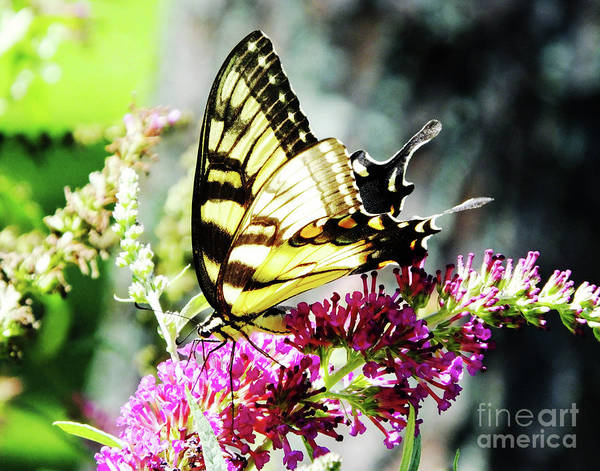 Photograph - Eastern Tiger Swallowtail 22 by Lizi Beard-Ward