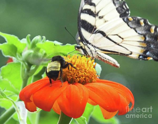 Photograph - Eastern Tiger Swallowtail 26 by Lizi Beard-Ward
