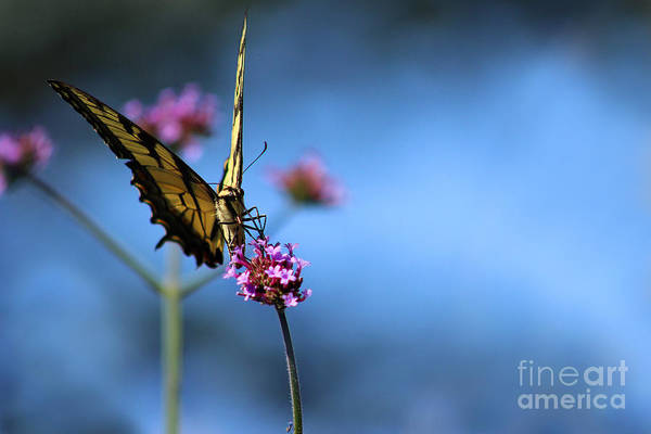 Photograph - Eastern Tiger Swallowtail And Blue Sky by Karen Adams