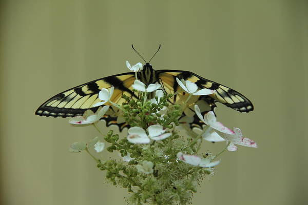 Photograph - Eastern Tiger Swallowtail Butterfly by Allen Nice-Webb
